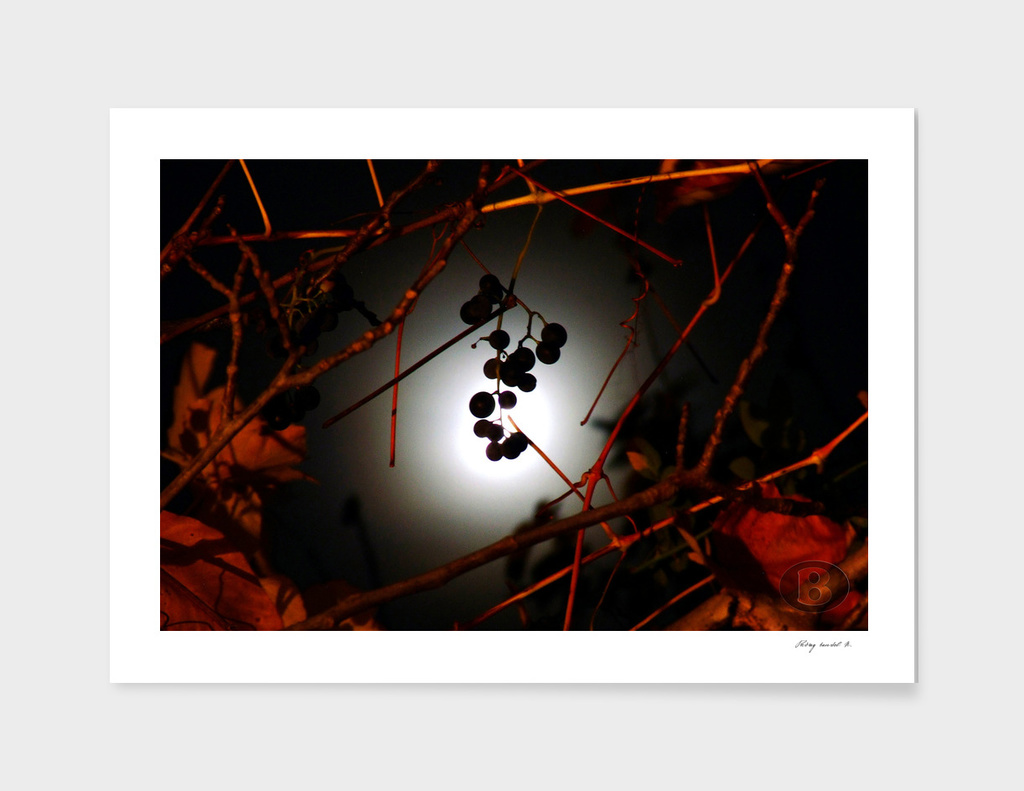 Grapes on the walnut and the Moon 2008_11040133