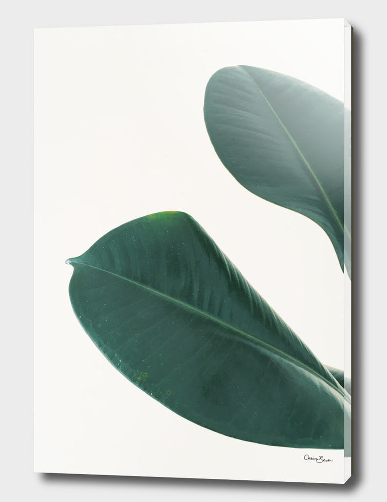 Rubber Fig Leaves I