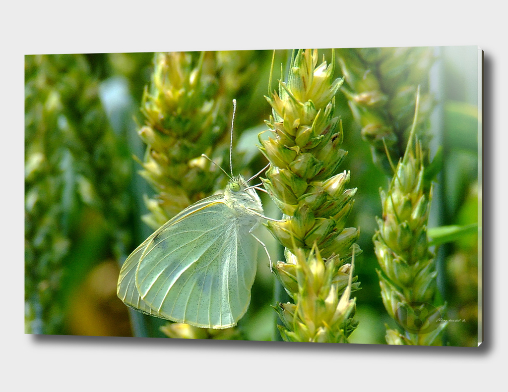 White butterfly B