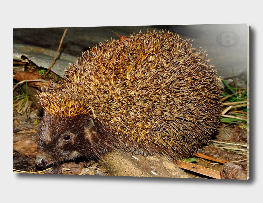 Hedgehog by Banstolac - 2007_0220Fuji0062