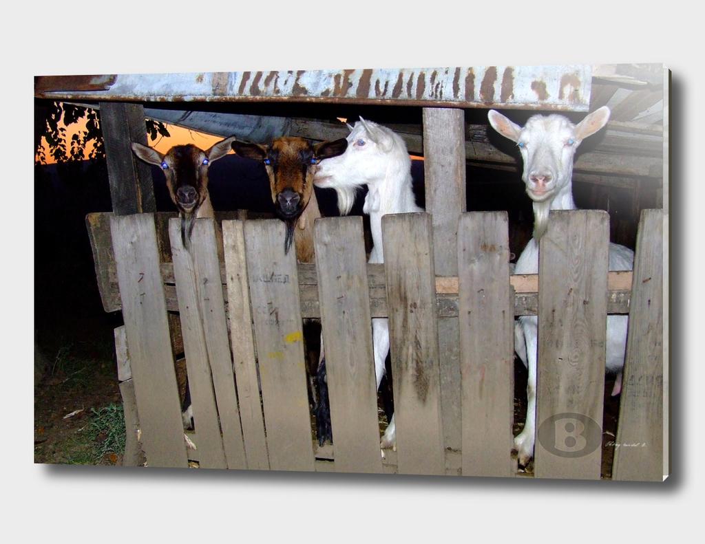 The goats B DSCF2210