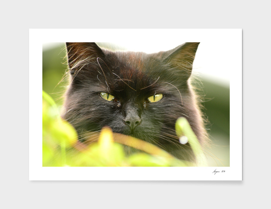 Black Cats Eyes