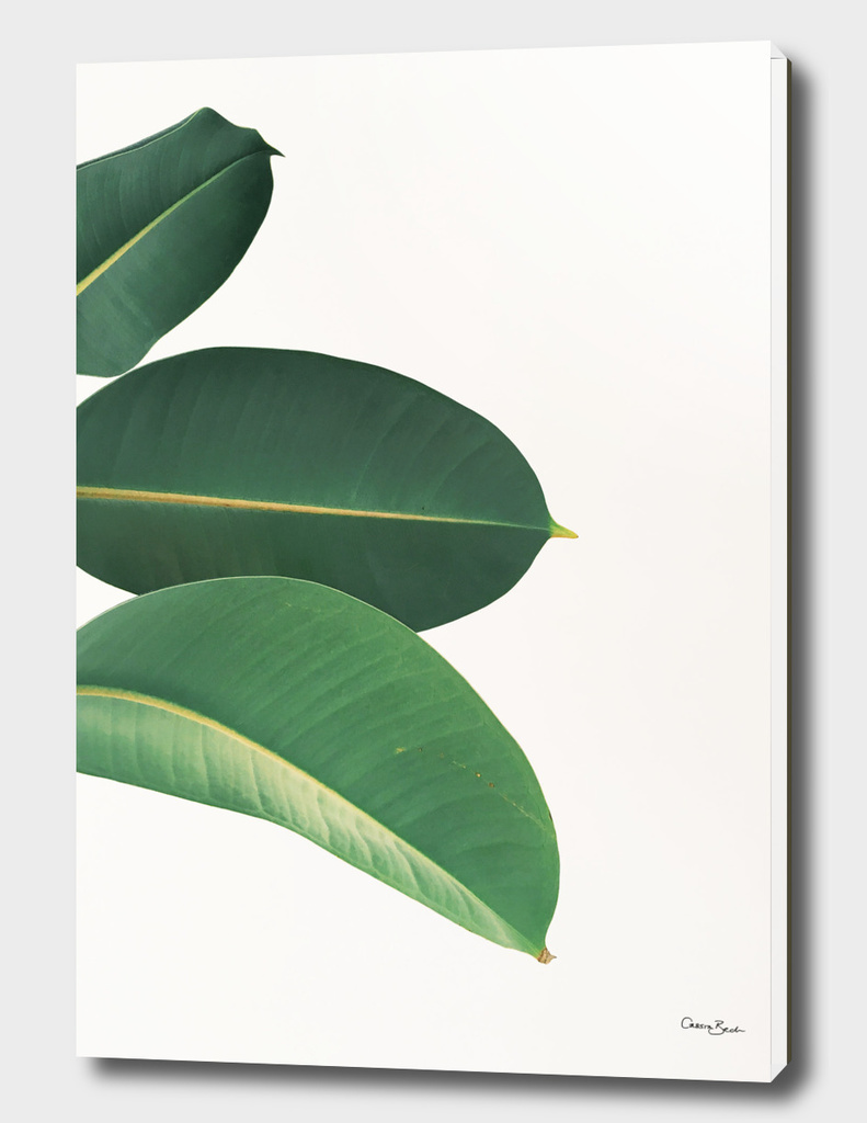 Rubber Fig Leaves II