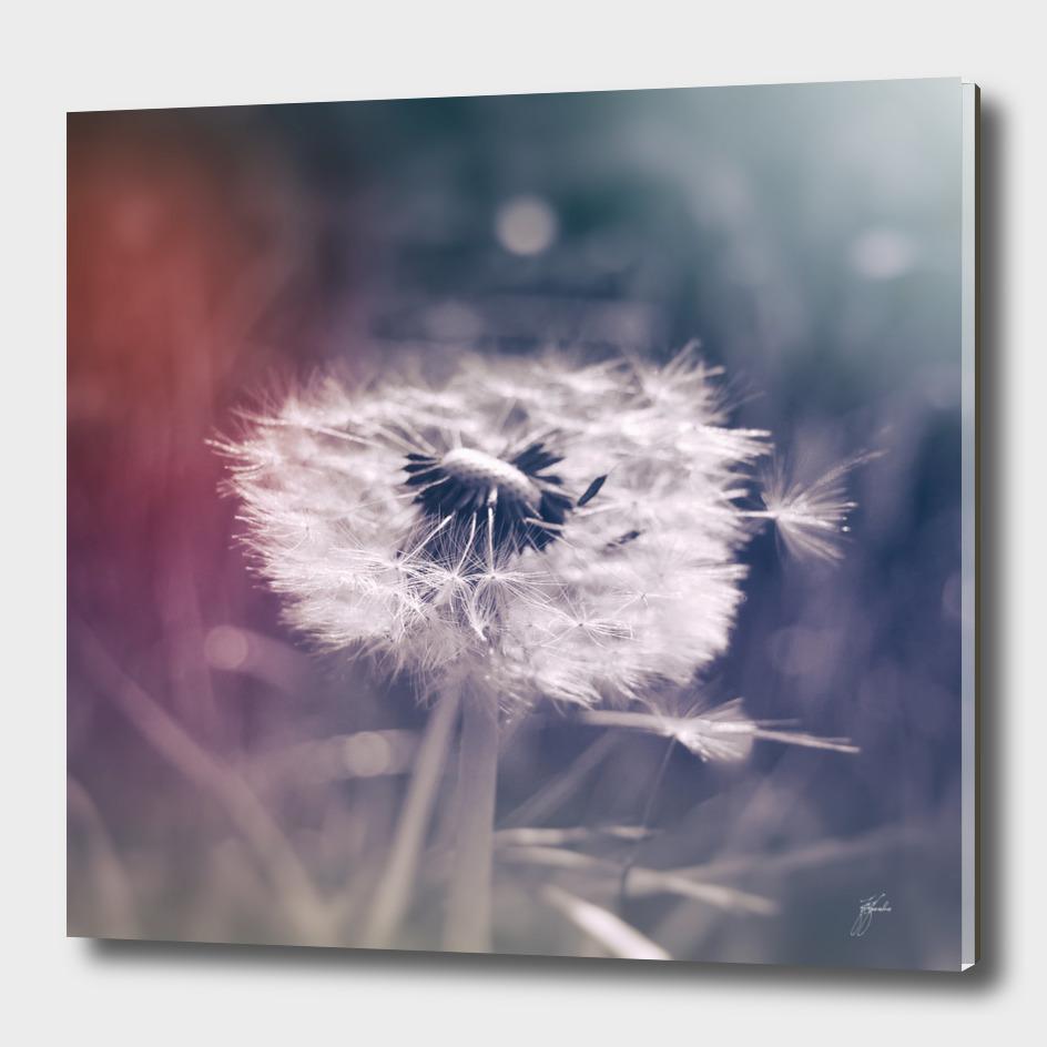 photography dandelion