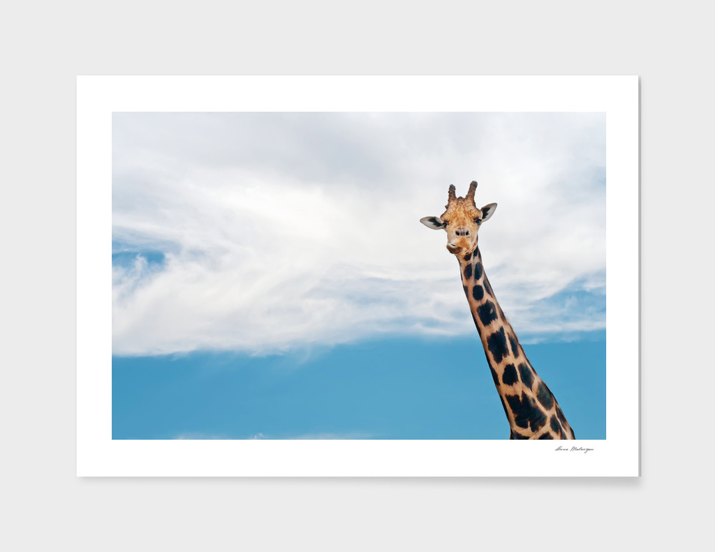 Giraffe neck and head against the clear blue sky