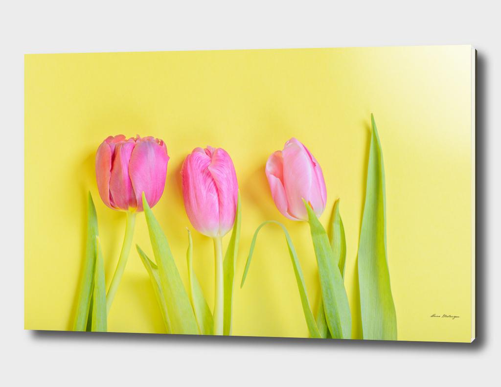 Three pink tulips on yellow