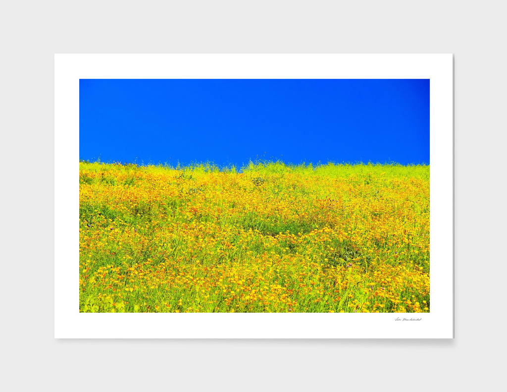 yellow poppy flower field with green leaf and clear blue sky