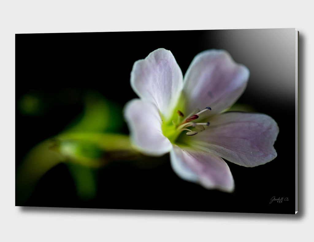 Woodland Geranium (Geranium sylvaticum) Close