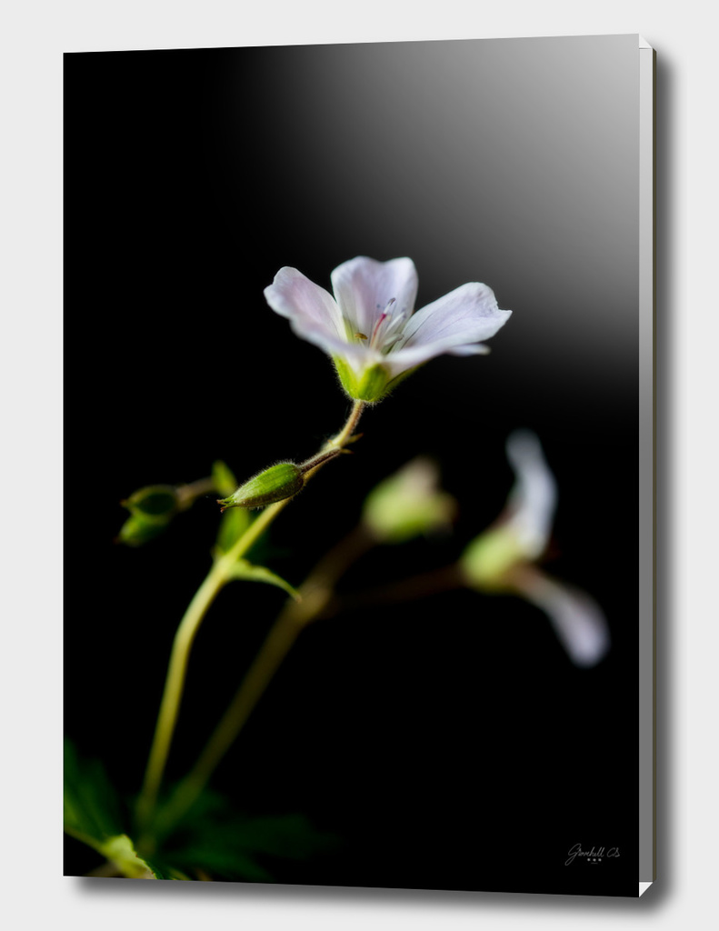 Woodland Geranium (Geranium sylvaticum)