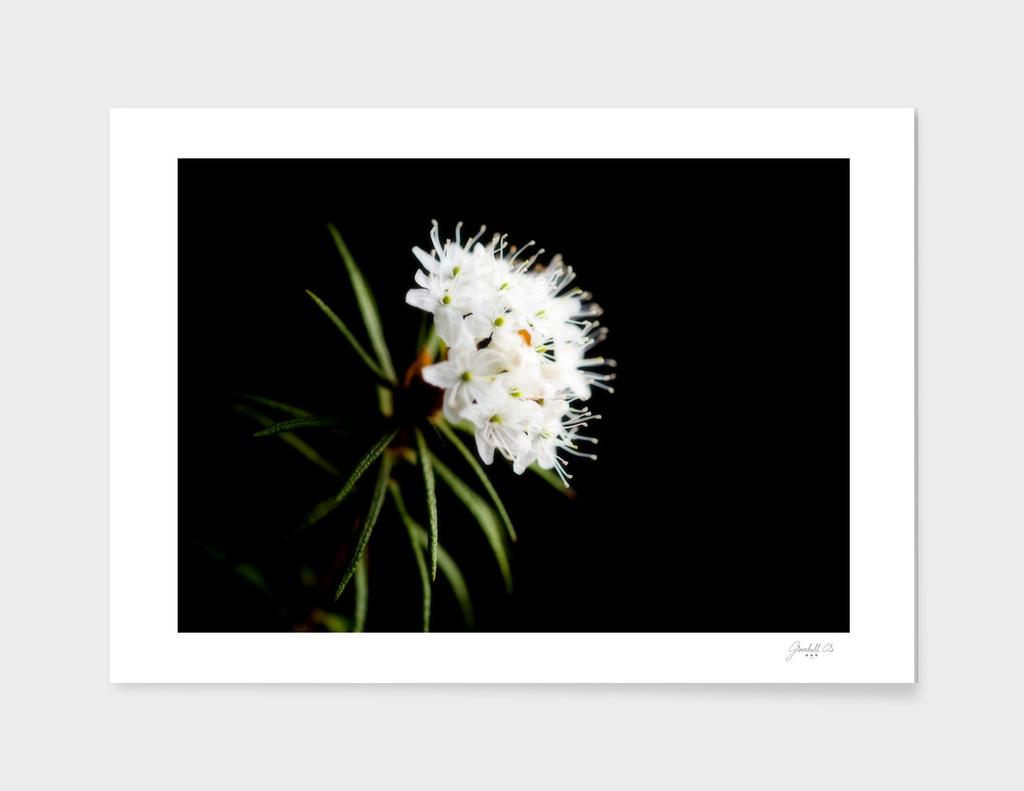 Wild Rosemary (Ledum Palustre)