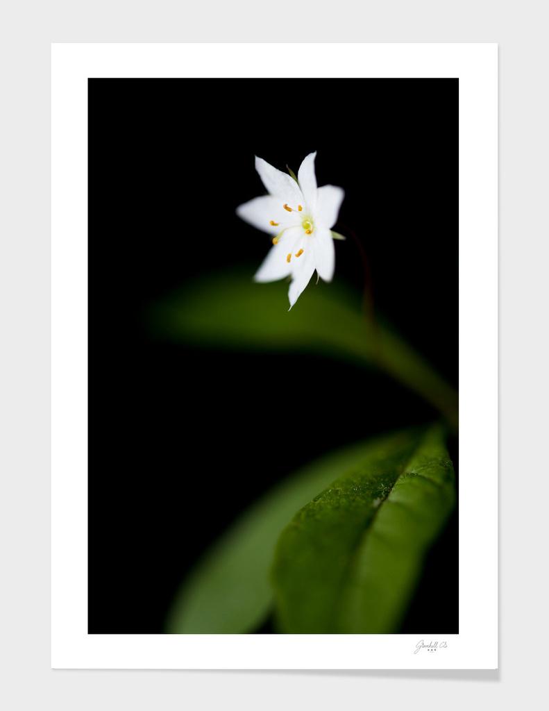 Star flower (Trientalis europaea)
