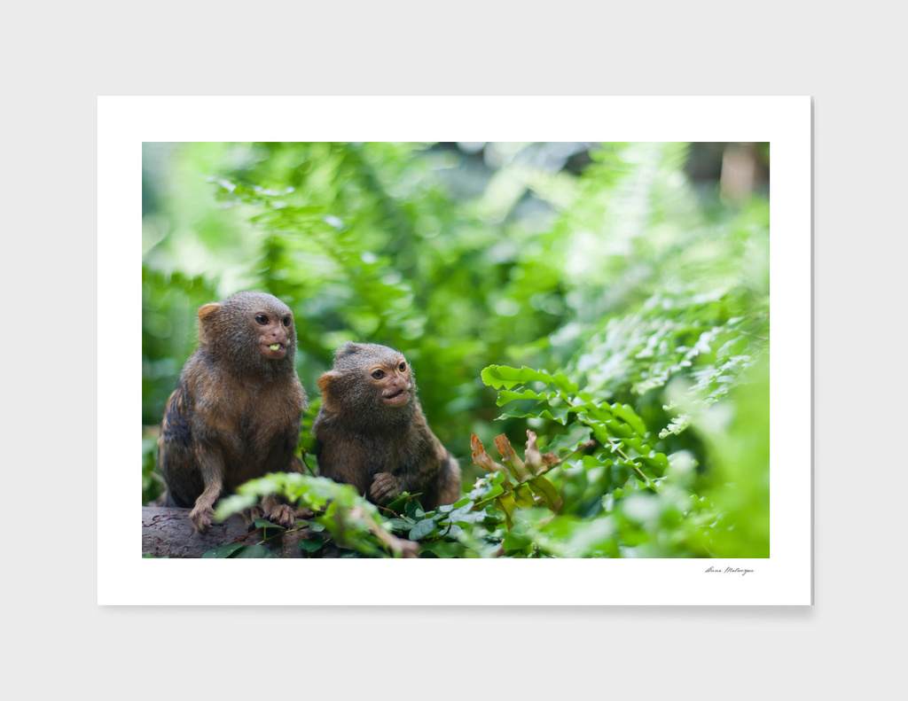 Pair of pygmy monkeys