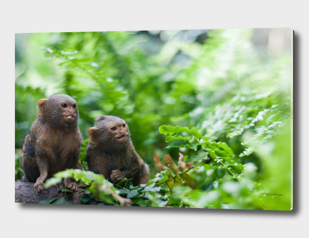 Pair of pygmy monkeys