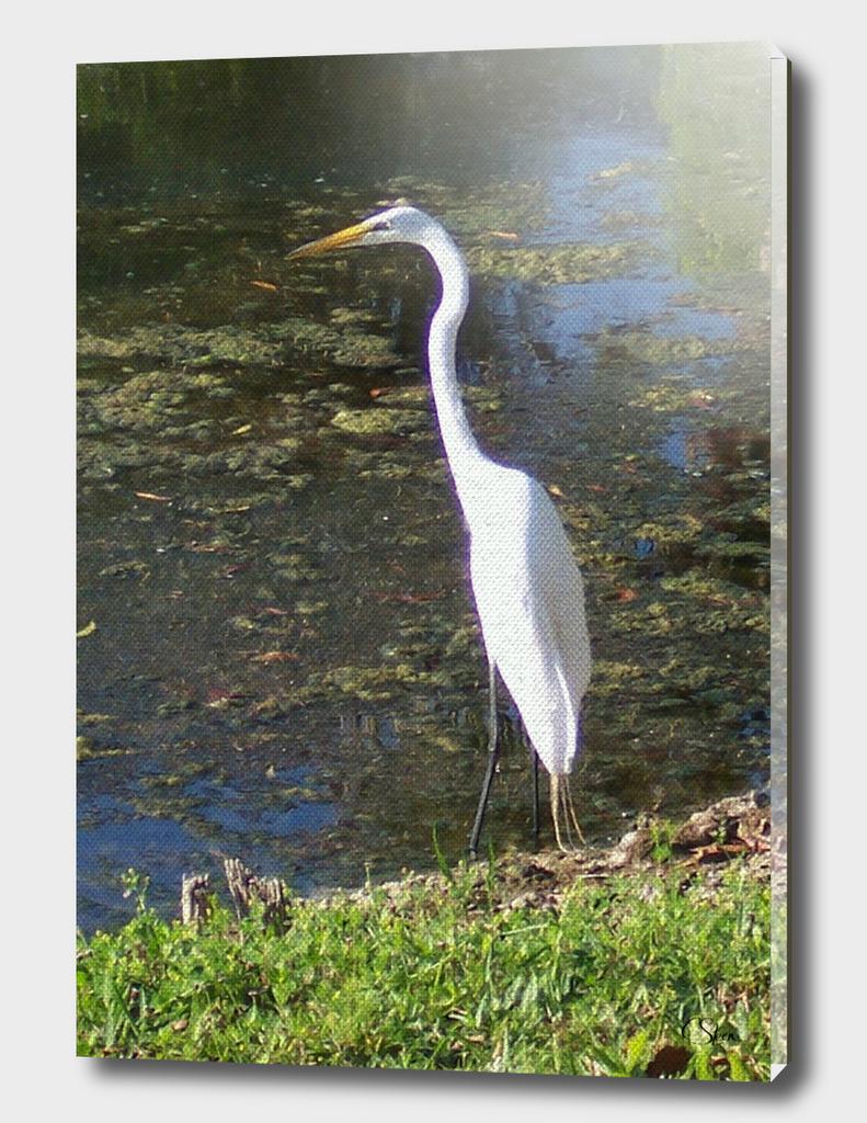 Great White Heron DPPA161101c