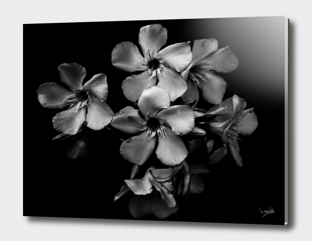 Oleander flowers in black and white