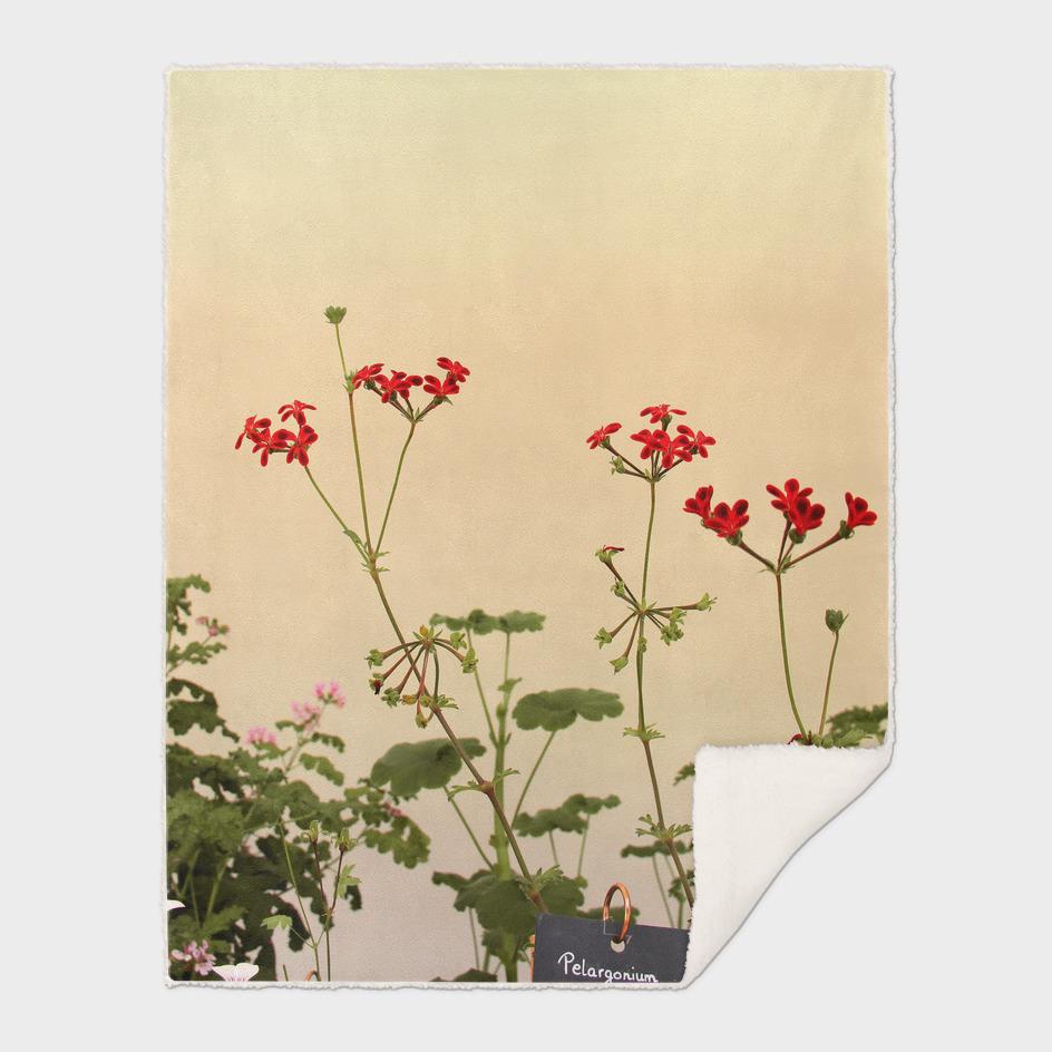 Geraniums (Pelargonium) #6