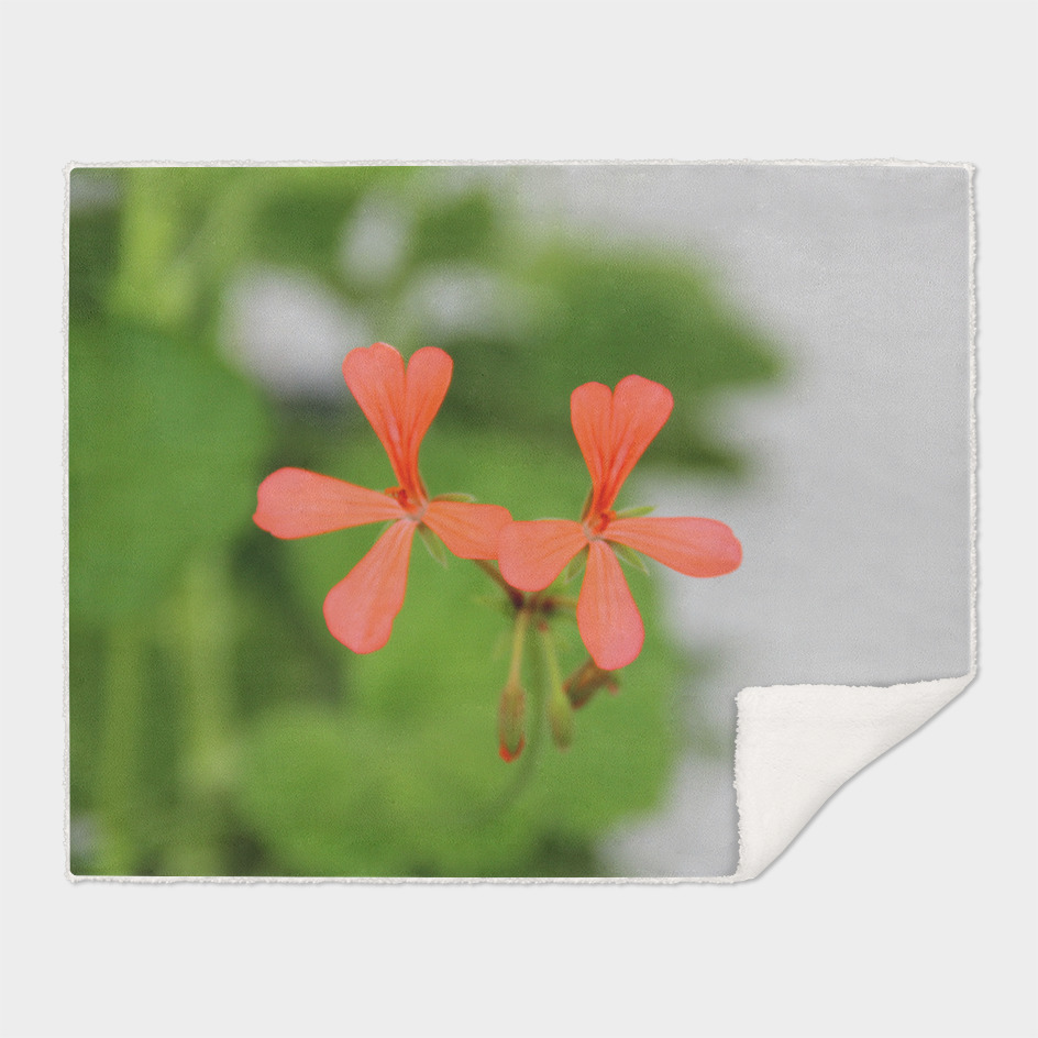 Geraniums (Pelargonium) #3