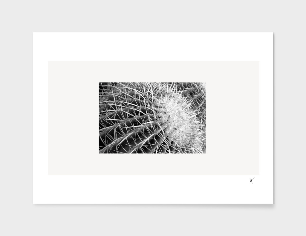 Black and White Barrel Cactus