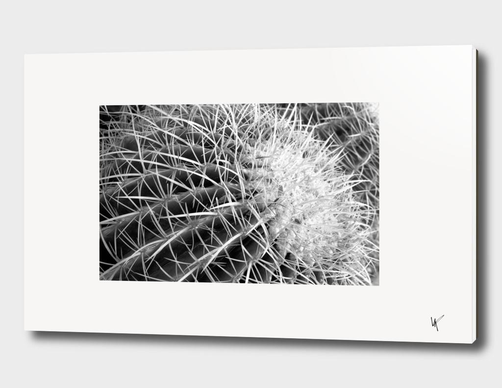 Black and White Barrel Cactus