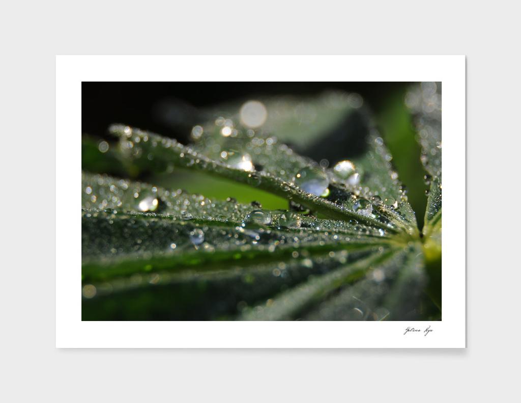 Morning dew 3