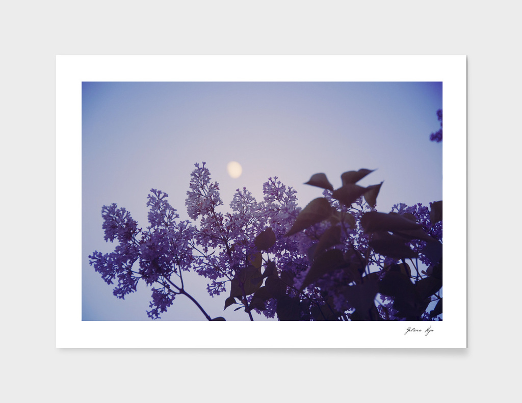 Lilac and the Moon