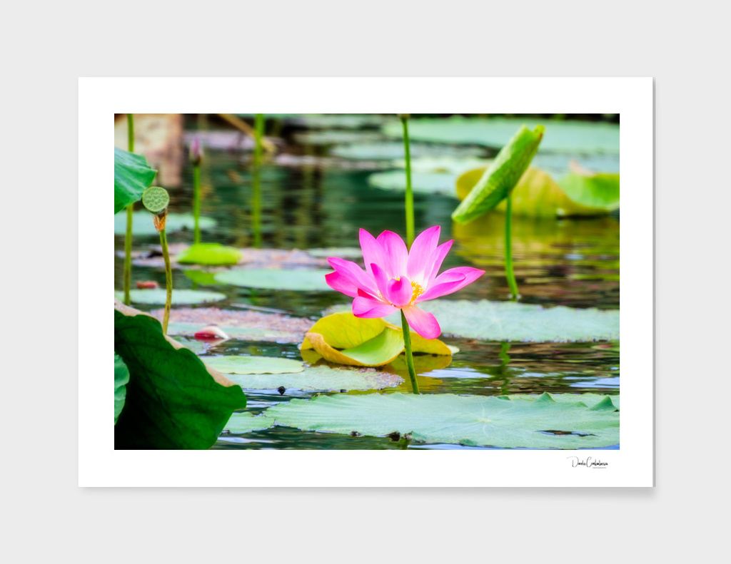 Sacred lotus at Corroboree Wetlands, Australia