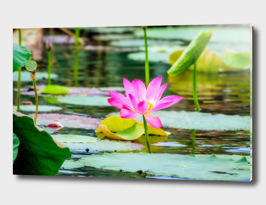 Sacred lotus at Corroboree Wetlands, Australia