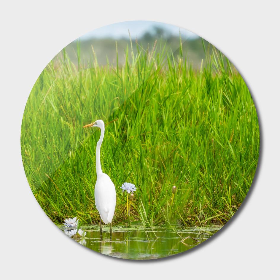 A Great Egret at Corroboree Billabong, Australia