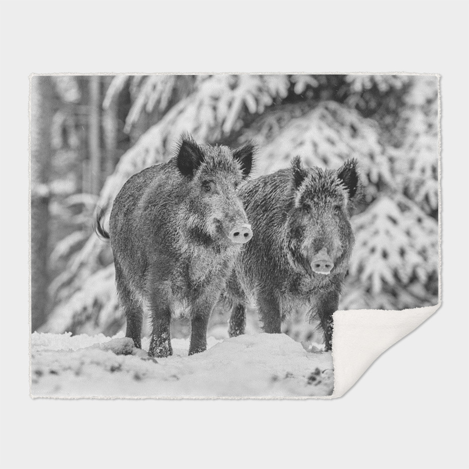 Eurasian Wild Boar (Black & White Edition)