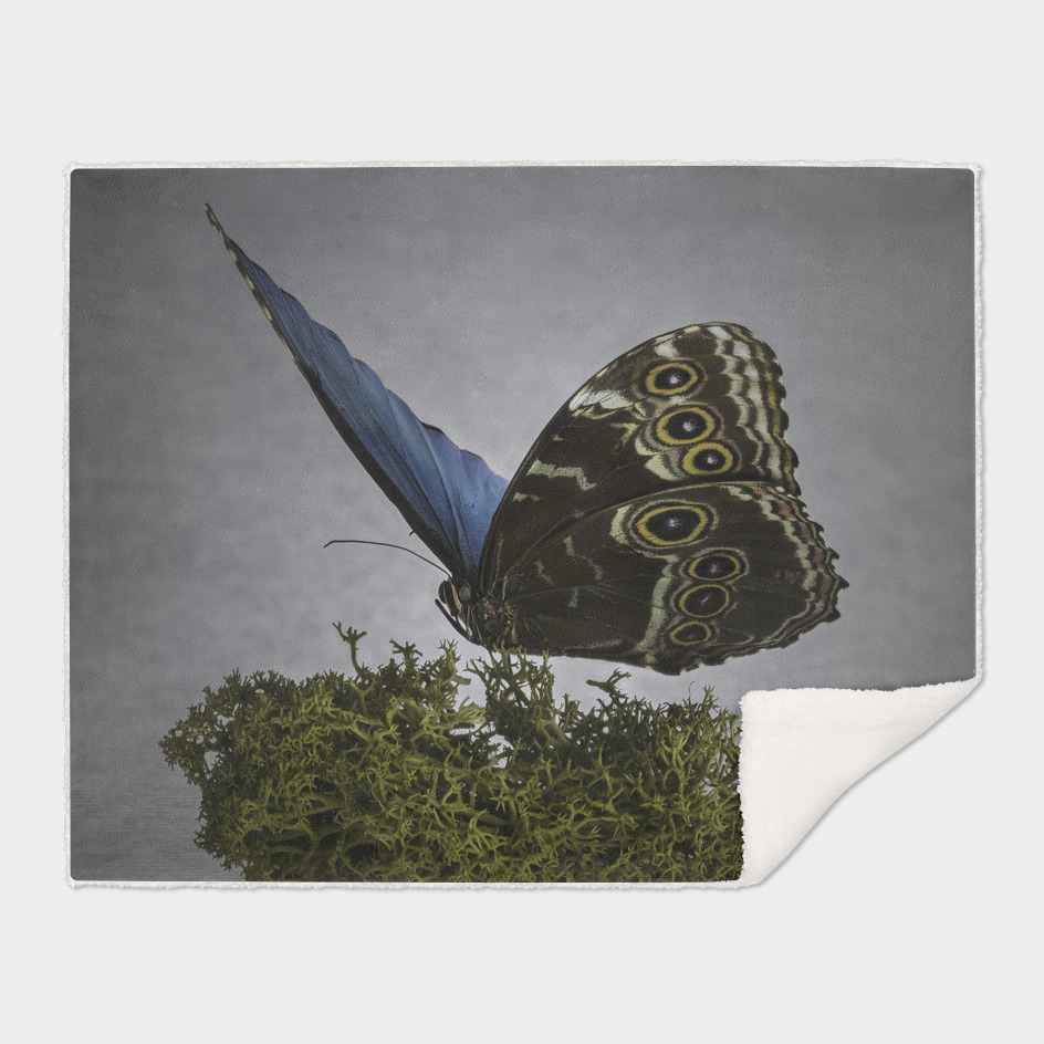 Columbian Blue Butterfly isolated on Moss
