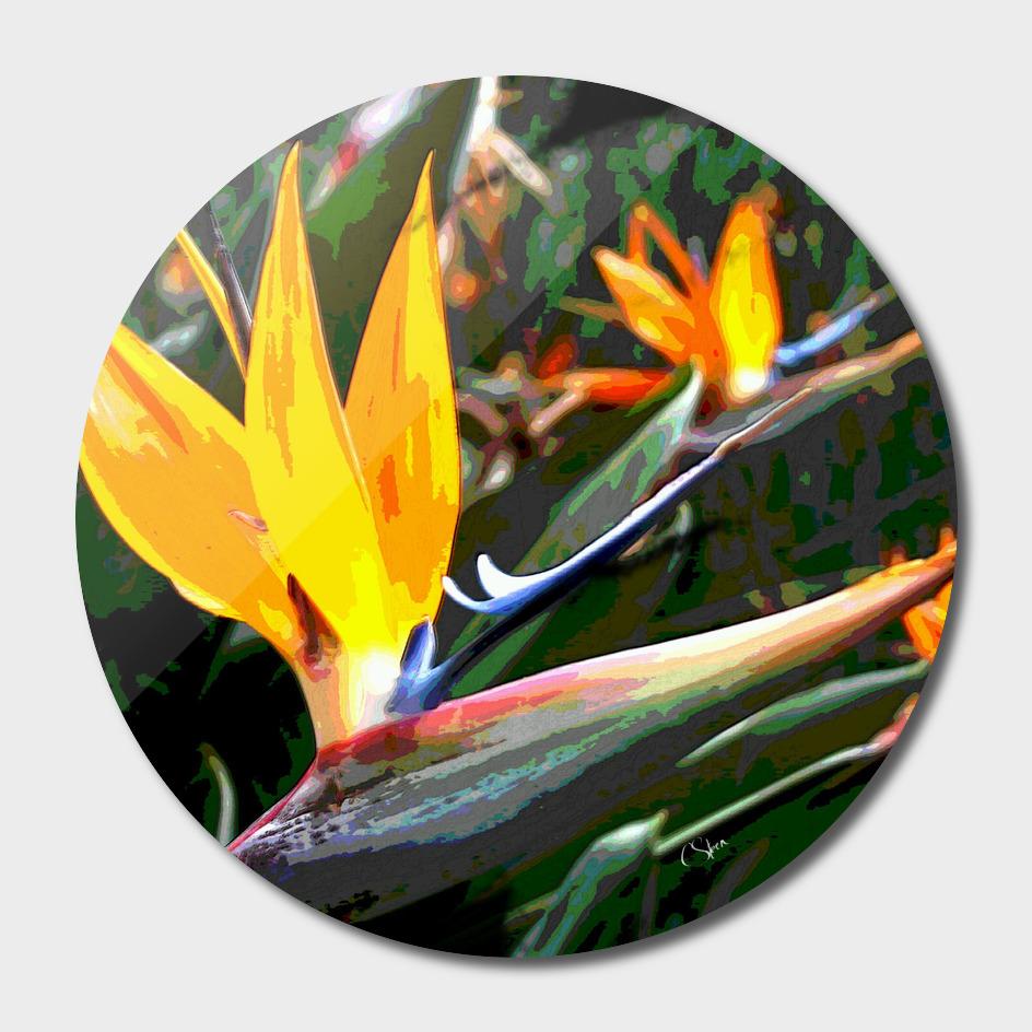 Bird of Paradise DPGPA170905c