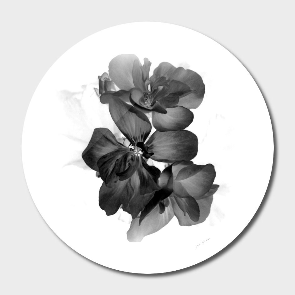 Geranium In Black and white