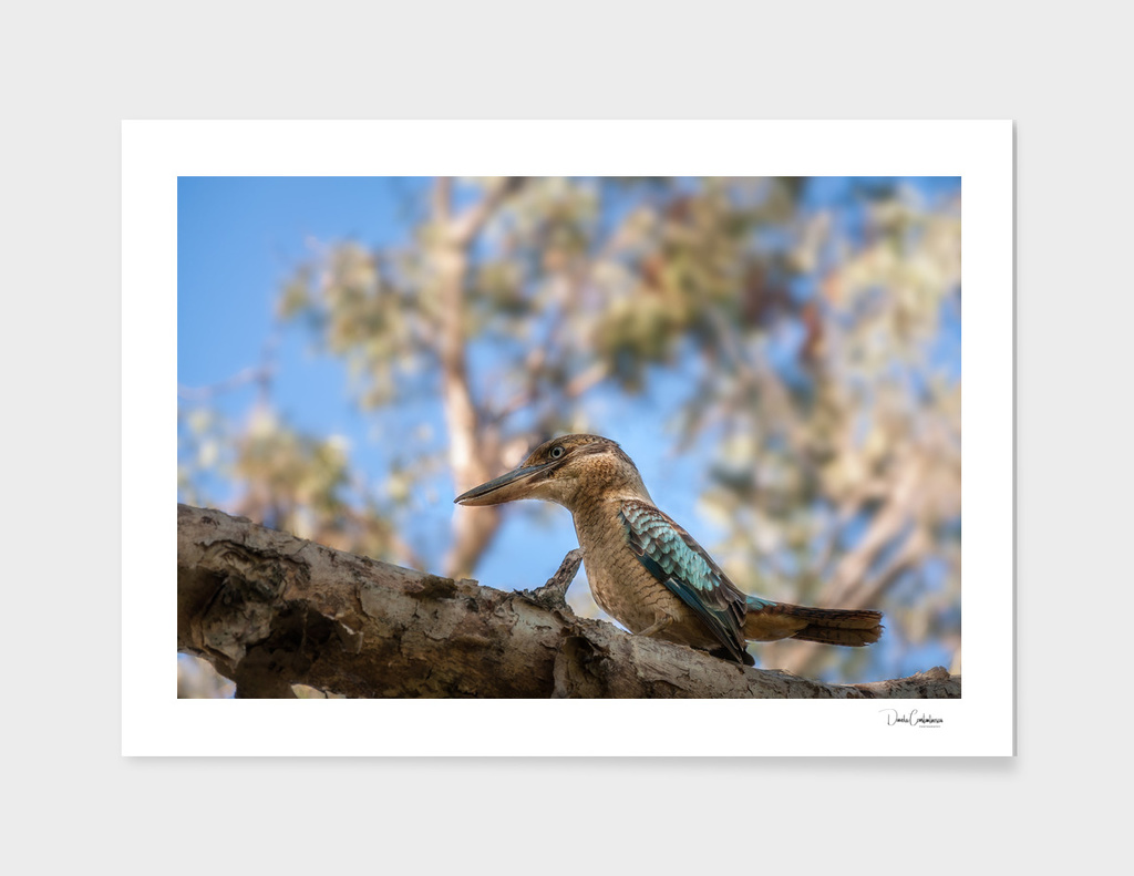Kingfisher Blue-winged Kookaburra at Katherine, Australia