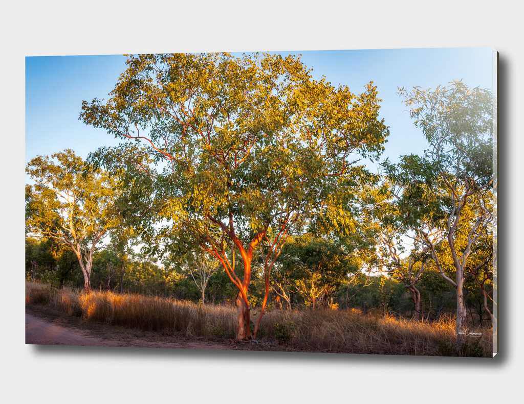 Landscape with red skin Australian gum trees