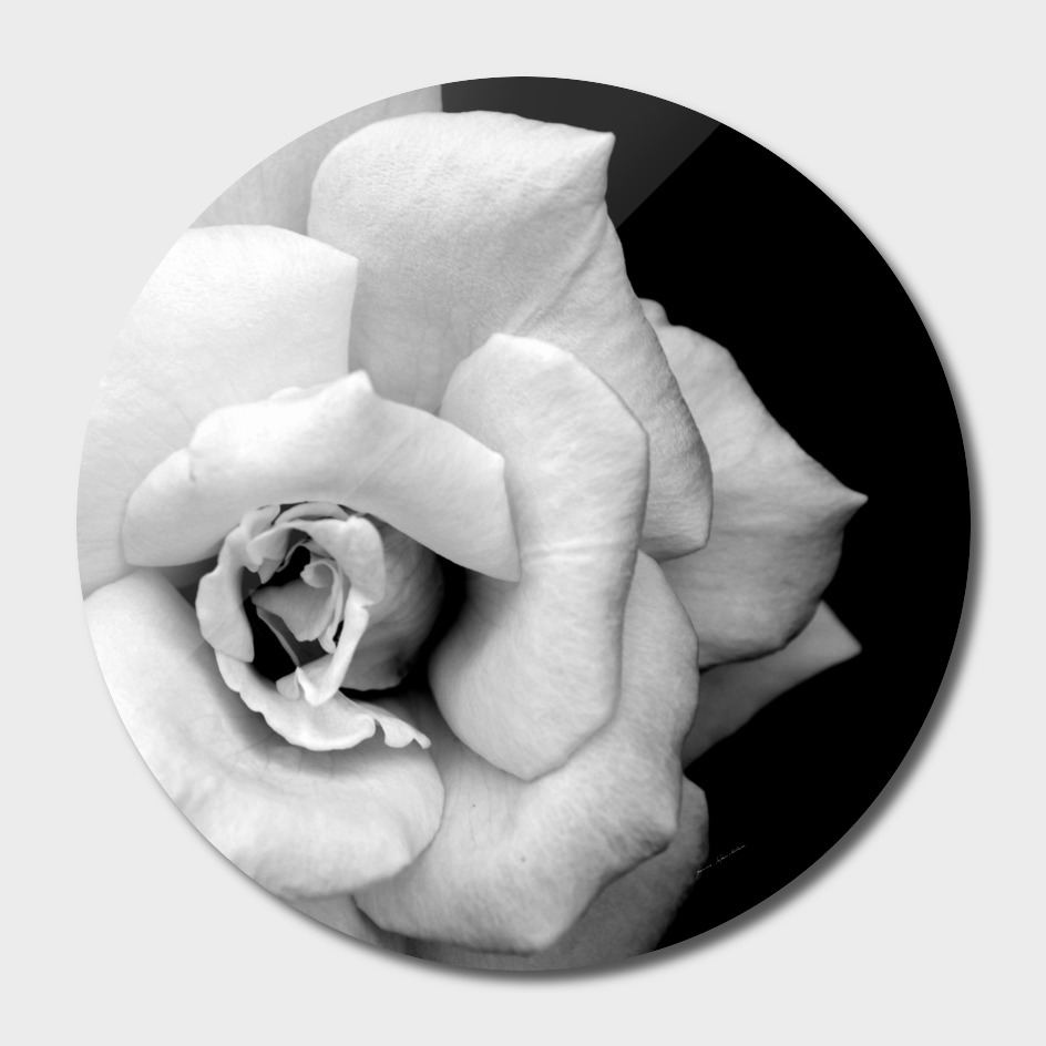 Monochrome rose