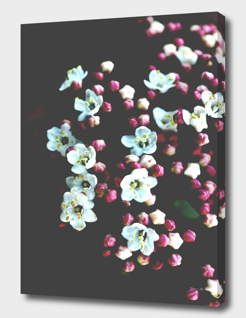 Botanical Still Life Photography Viburnum Flowers