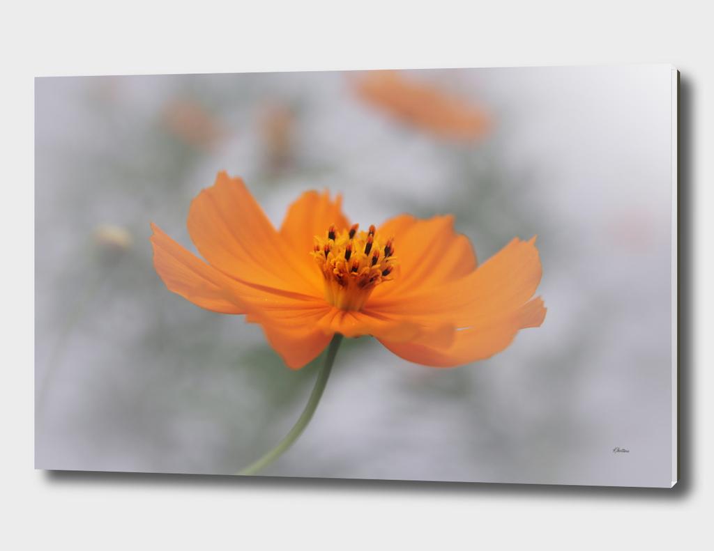 Cosmos Floral