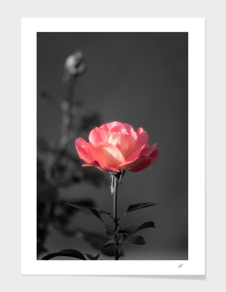 Delicate Rose