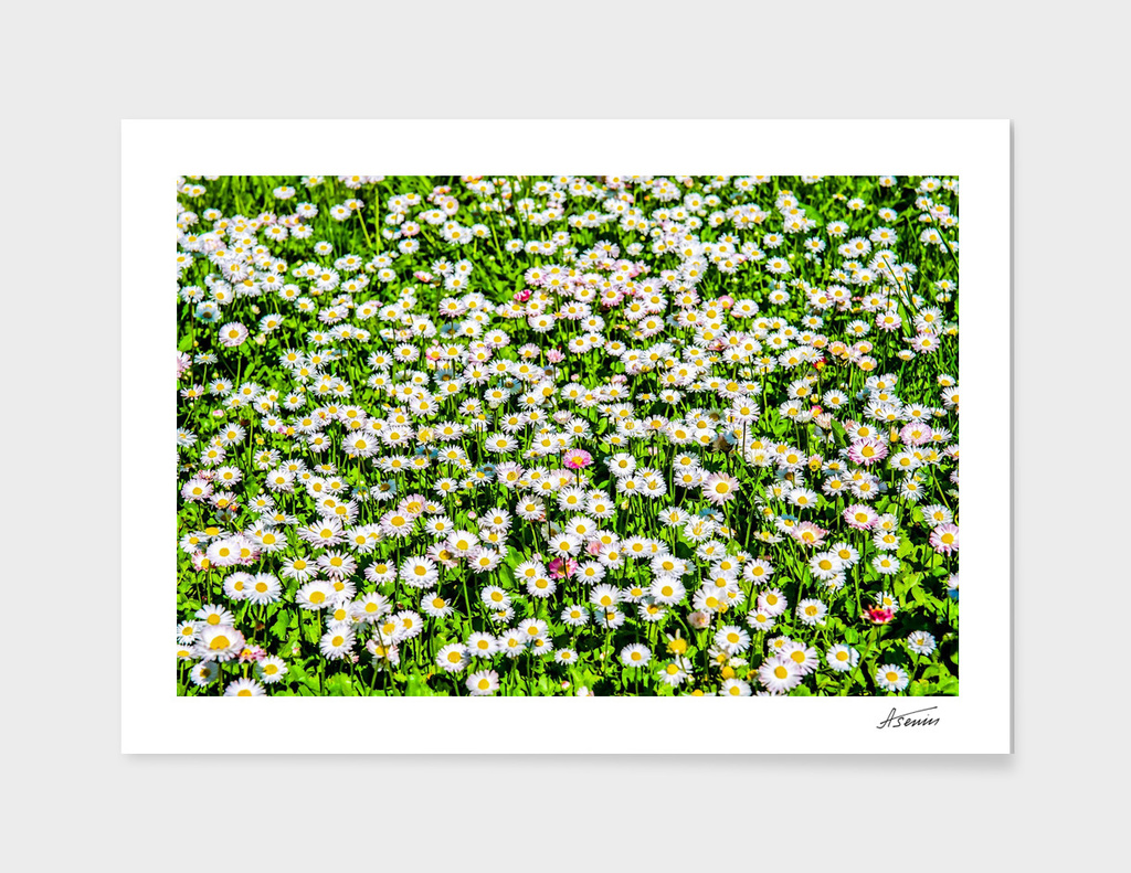 Field Of White Daisy Flowers