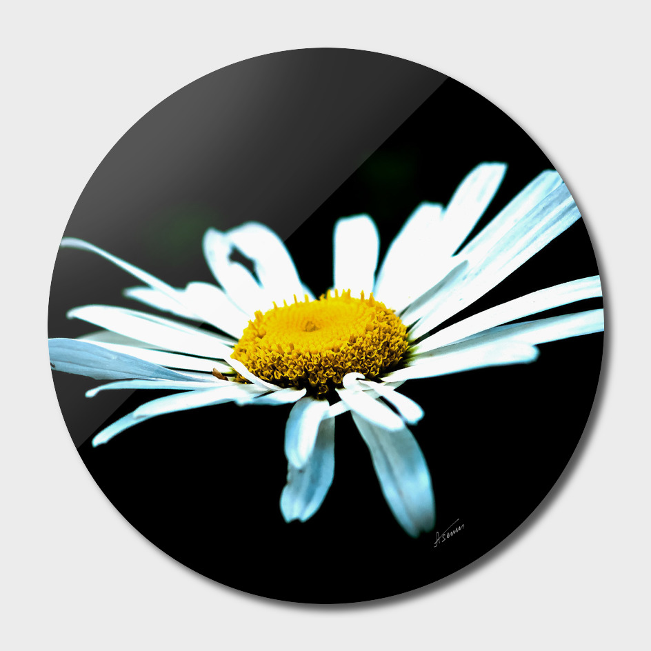 Whiter Daisy On Black