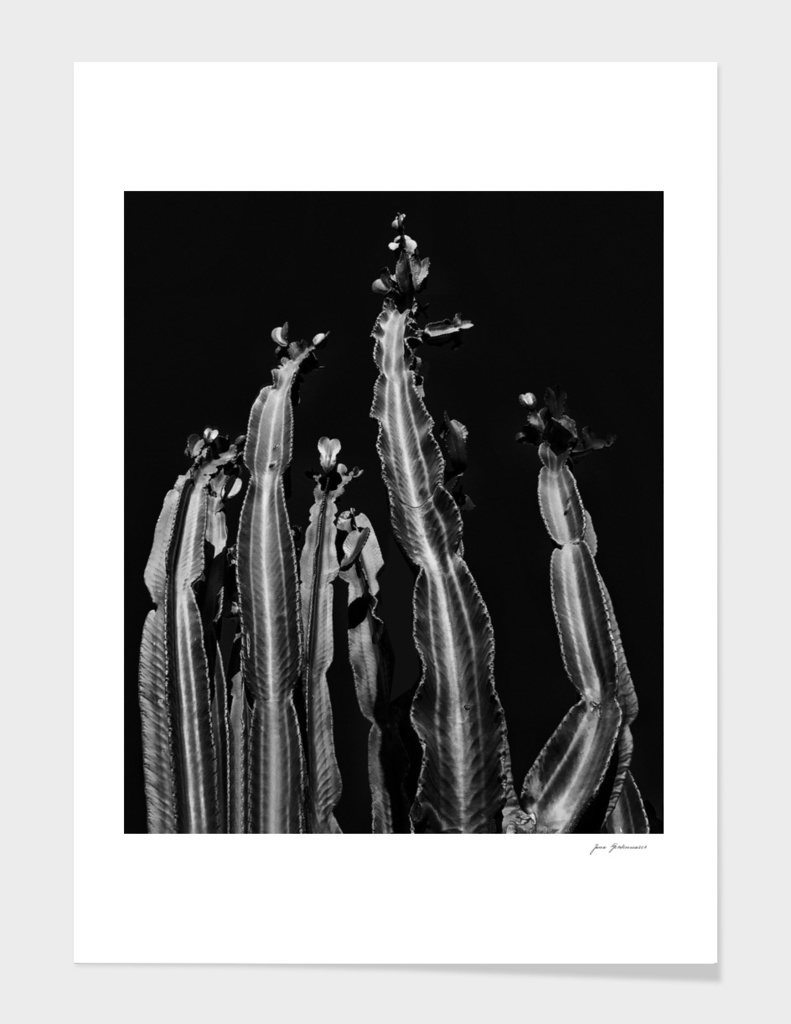 Cactus - black and white
