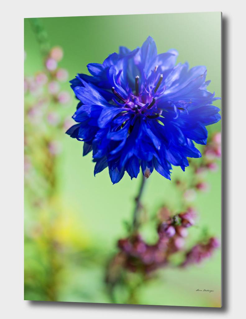 Beauty of blue cornflower