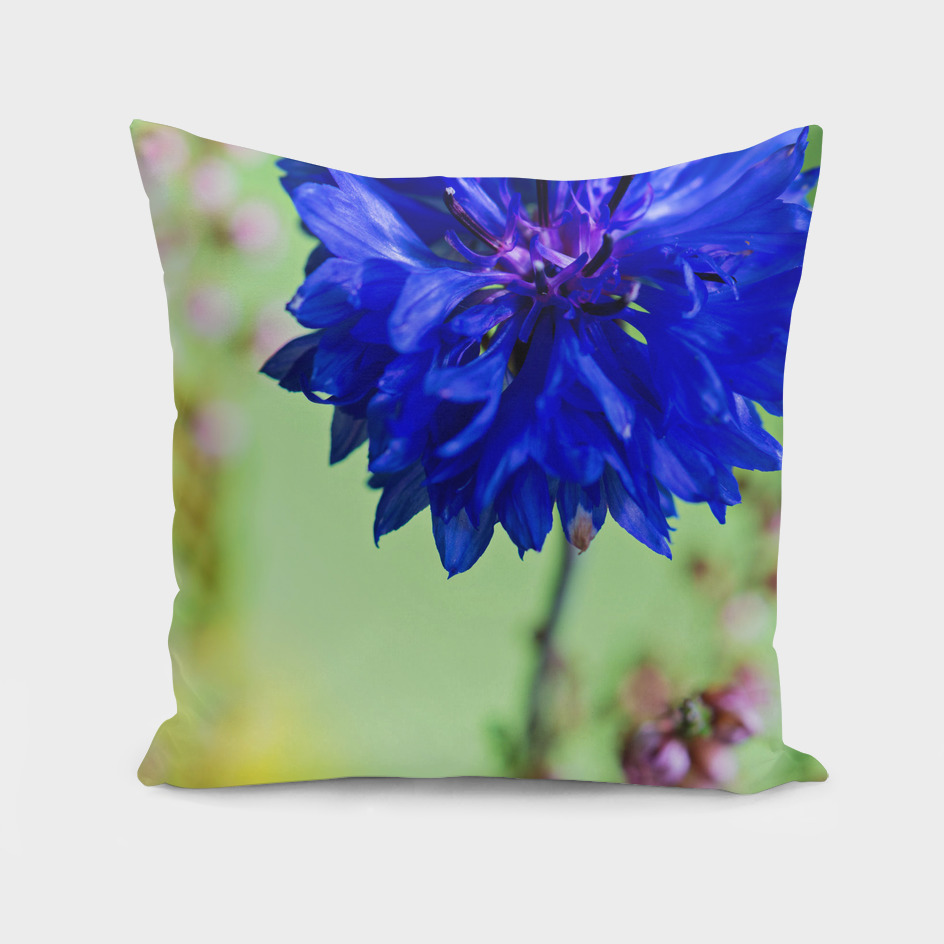 Beauty of blue cornflower