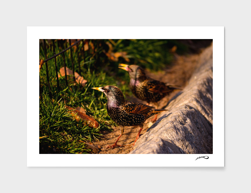 Sturnus vulgaris by #Bizzartino