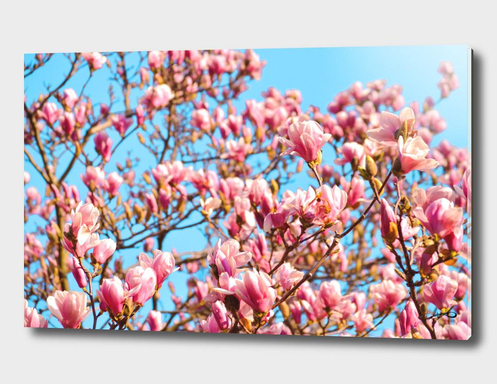 Magnolia by #Bizzartino