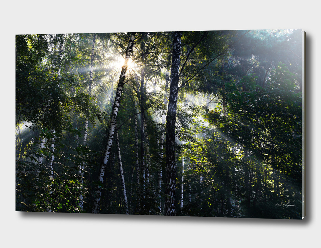 Dramatic sun rays in summer forest