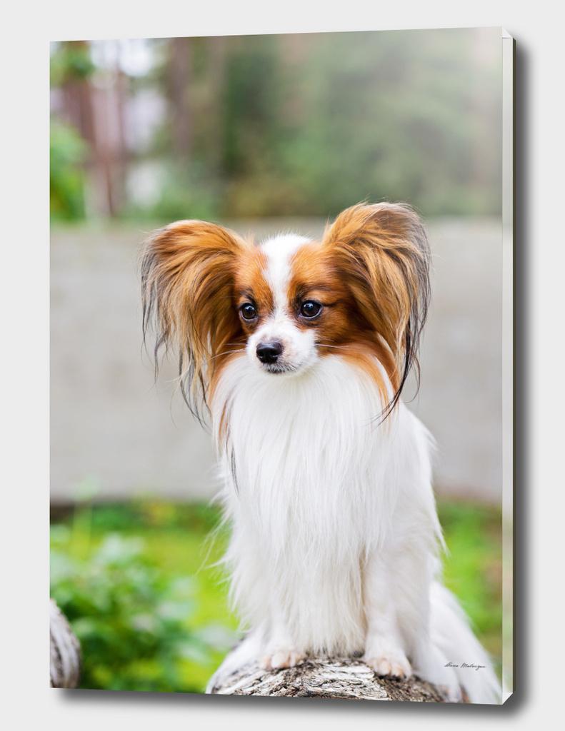 Portrait of a papillon dog