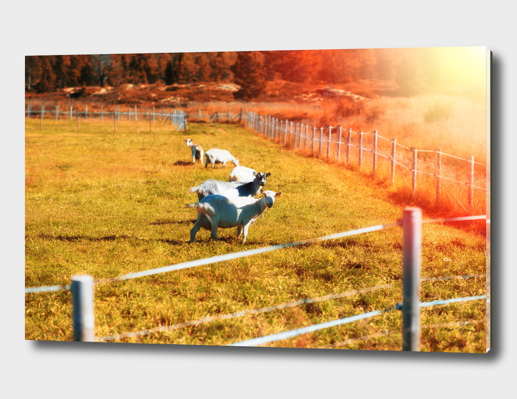Norwegian sheep on farm