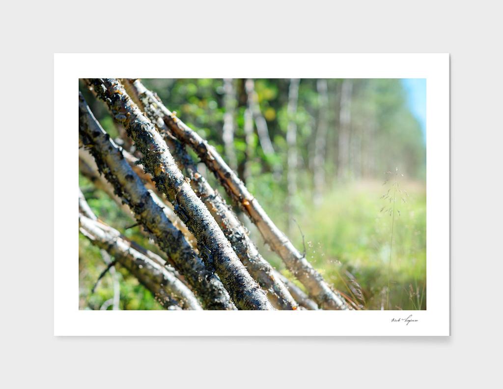 Felled birch trees landscape