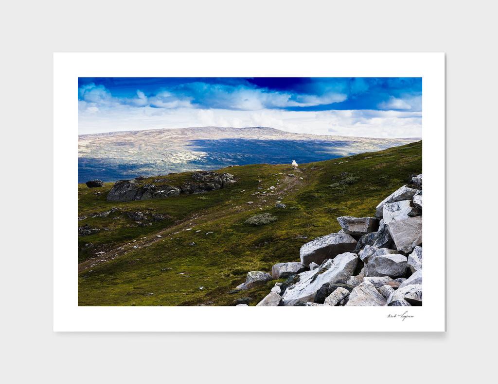 Mountain Norwegian sheep